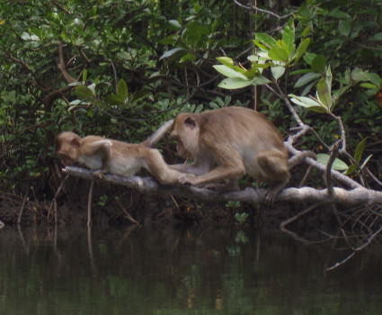 Monkeys seen during sea kayaking
