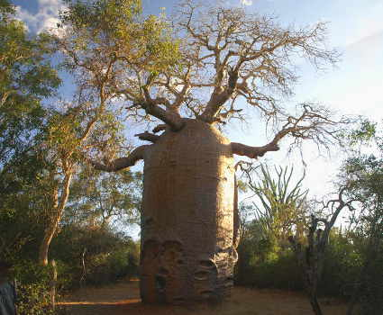 Baobab trees along route
