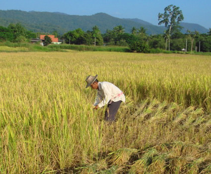 Workers harvesting the rice