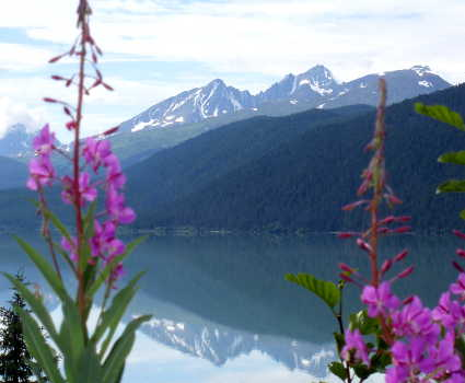 fireweed overlooking lake