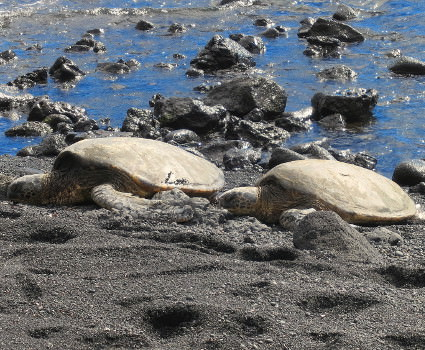 Sea turtles resting on Punalu'u Beach